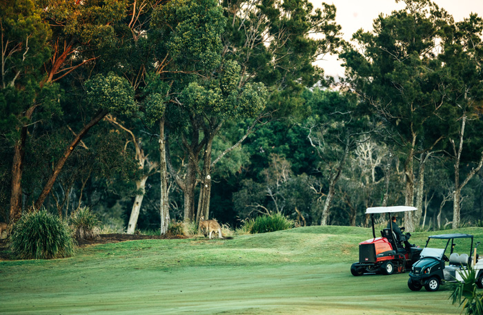Golf buggies on course with kangaroos