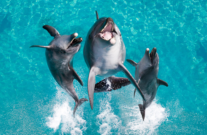 Dolphins jumping at Sea World