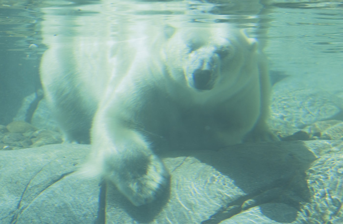 Polar Bear Underwater